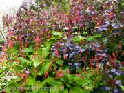 Cotinus and Persicaria