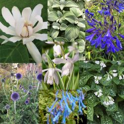 Our featured plants: Top Left: Calycanthus x 'Venus'   ❀ Top Center: Plectranthus argentatus 'Longwood Silver' ❀ Top Right: Agapanthus 'Storm Cloud' ❀ Center: Bletilla striata 'Alba Variegata'  ❀ Bottom Left: Echinops bannaticus 'Taplow Blue' ❀ Bottom Center: Corydalis flexuosa 'Blue Panda' ❀ Bottom Right: Pulmonaria saccharata 'Sissinghurst White'   