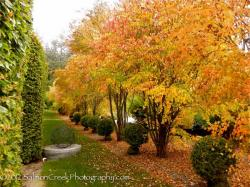 Our featured plant:Cercidiphyllum japonicum