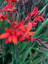 Our featured plant: Crocosmia 'Zeal Tan'Colorful Crocosmias, Dress up late August plantings!Colorful Crocosmias....