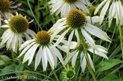 Our featured plant: Echinacea purpurea 'White Swan'Noteworthy American natives and nativars, Exceptional Echinaceas!Exceptional Echinaceas....