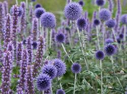 Our Featured Plant: Echinops bannaticus 'Taplow Blue'