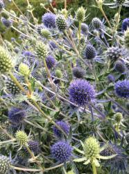 Our featured plant: Eryngium planum 'Blue Glitter'