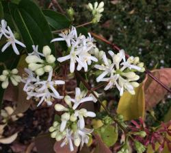 Our Featured Plant:  • Heptacodium miconioides
