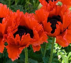 Our featured plant: Papaver orientale 'Turkenlouis'