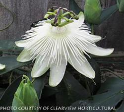 Our featured plant: Passiflora 'Snow Queen'
