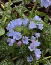 Our featured plant: Pulmonaria 'Opal'