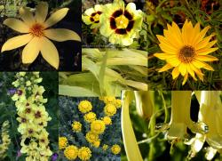Our featured plants: Dahlia 'Bishop Of York' • x Halimiocistus wintonensis 'Merrist Wood Cream'• Helianthus 'Undaunted (Tm) Lemon Max (Dakota Queen)'• Verbascum chaixii 'Sixteen Candles'• Hakonechloa macra 'All Gold'• Santolina chamaecyparissus var. nana • Phygelius x rectus 'Moonraker'
