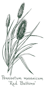<i>Pennisetum massaicum</i> 'Red Buttons'