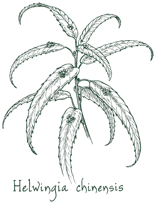 Helwingia chinensis