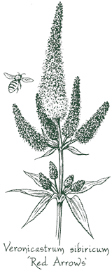 <i>Veronicastrum sibiricum</i> 'Red Arrows'