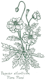 <i>Papaver atlanticum</i> 'Flore Pleno'