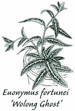 <i>Euonymus fortunei</i> &#8216;Wolong Ghost&#8217;