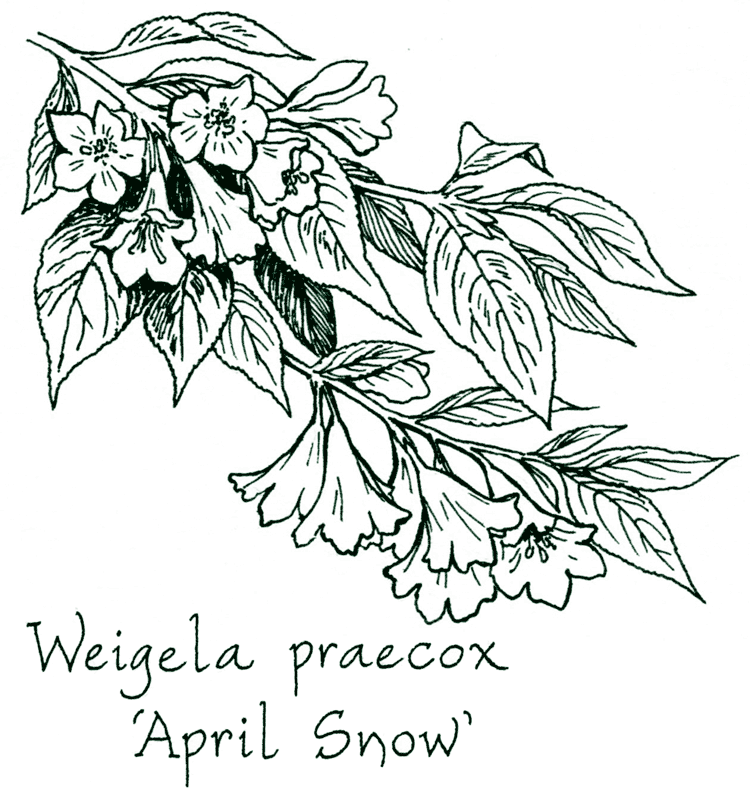 Weigela praecox 'April Snow'