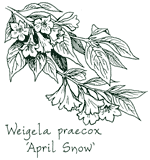 <i>Weigela praecox</i> 'April Snow'