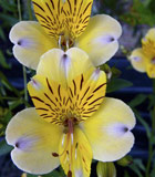 <i>Alstroemeria violacea</i> &lsquo;Yellow Friendship&rsquo;
