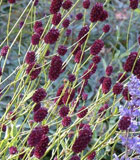 <i>Sanguisorba officinalis</i>
