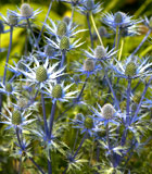 eryngium sea holly