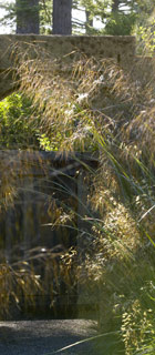 <i>Stipa</i> (Giant Feather Grass, Pillar of Smoke)