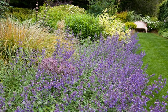 nepeta or catmint at digging dog nepeta faassenii. Black Bedroom Furniture Sets. Home Design Ideas