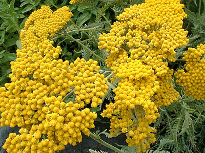 Achillea x Coronation Gold