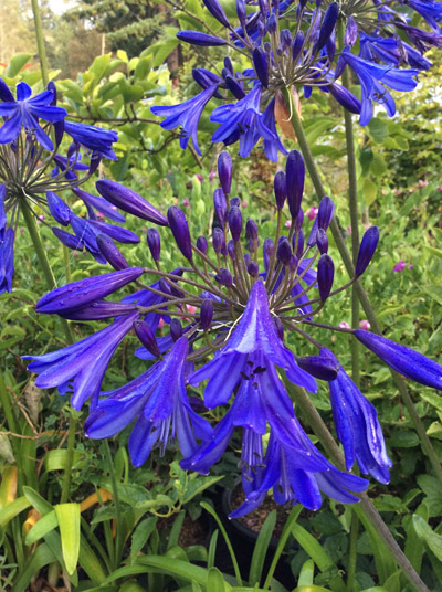 Agapanthus 'Storm Cloud'