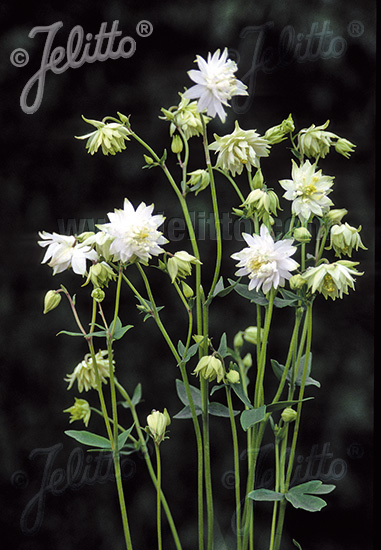 Aquilegia vulgaris Green Apples