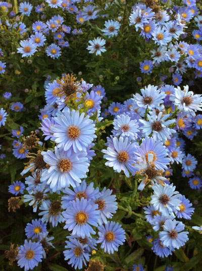 Aster laevis Climax