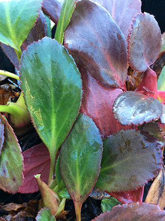 Bergenia Pink Dragonfly