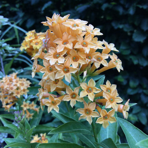 Cestrum 'Orange Peel'
