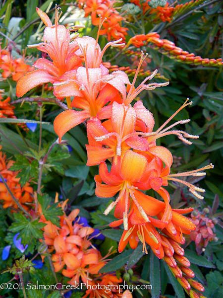 Crocosmia 'Walberton Orange'