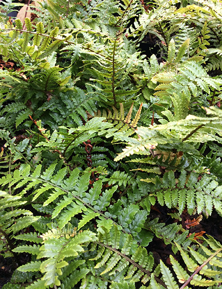 Dryopteris pycnopteroides