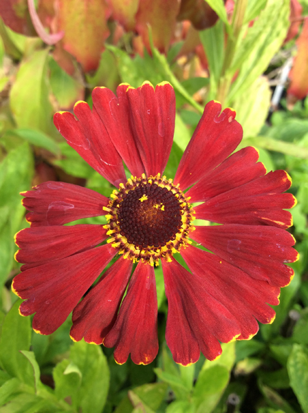 Helenium Potter's Wheel