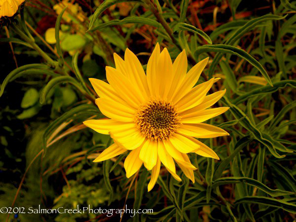 Helianthus 'Undaunted (Tm) Lemon Max (Dakota Queen)'