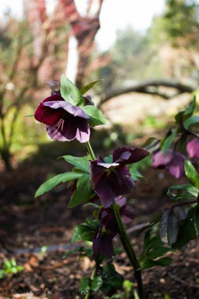 Helleborus hybridus Red Lady