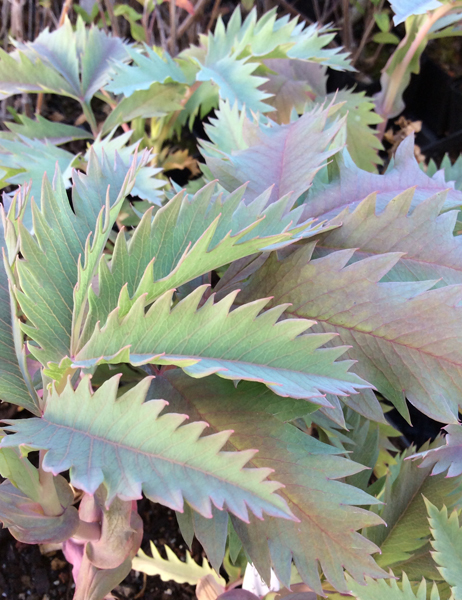 Melianthus major Antonow's Blue