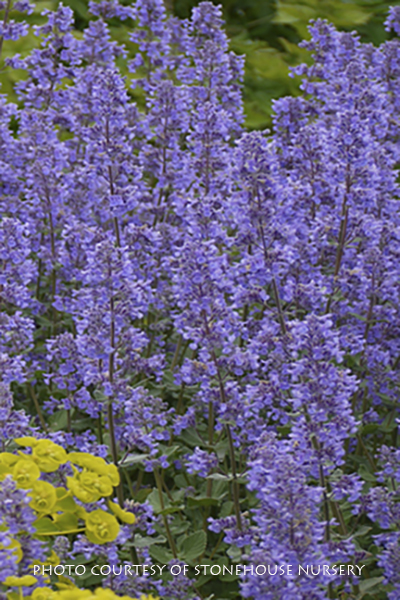 Nepeta grandiflorum Summer Magic