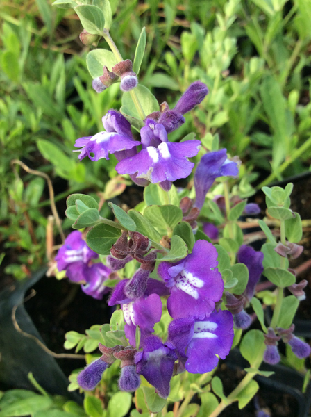 Scutellaria resinosa Smoky Hills