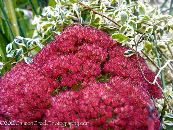 Sedum spectabile 'Septemberglut'