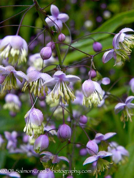 Thalictrum delavayi 'Hewitts Double'