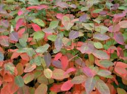 <i>Amelanchier</i> x <i>grandiflora</i> 'Autumn Brilliance'