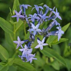 <i>Amsonia</i> x 'Blue Ice'