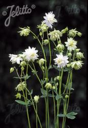 <i>Aquilegia vulgaris</i> var. <i>stellata</i> 'Green Apples'