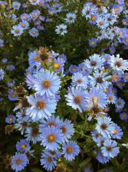 <i>Aster laevis</i> 'Climax'