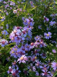 Aster Coombe Fishacre