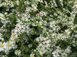 <i>Aster lateriflorus</i> 'White Lovely'