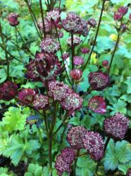 <i>Astrantia major</i> 'Hadspen Blood'