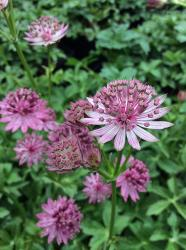 <i>Astrantia major</i> 'Roma'