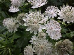 <i>Astrantia major</i> 'White Giant'