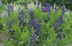 Baptisia Royal Purple
